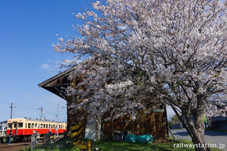 小湊鉄道・海土有木駅、側線ホーム跡倉庫前の桜
