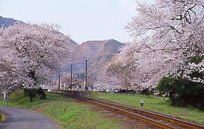 春爛漫の樽見鉄道、桜の名駅・谷汲口駅