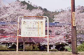 樽見鉄道、桜満開の谷汲口駅、駅名標と静態保存中の旧型客車