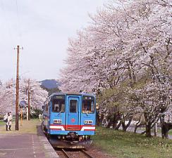 岐阜県揖斐川町、樽見鉄道、桜咲く谷汲口駅