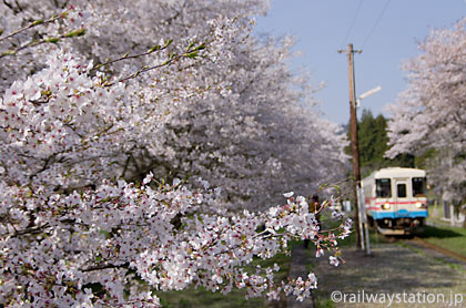 岐阜県の第3セクター鉄道の樽見鉄道、桜満開の谷汲口駅