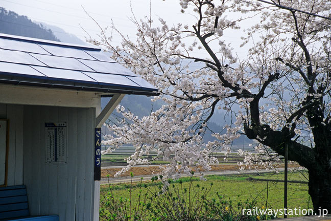 えちぜん鉄道・勝山永平寺線・永平寺口駅、見事な枝ぶりの桜