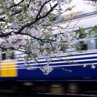 えちぜん鉄道・三国線、鷲塚針原駅、桜と走り去る列車