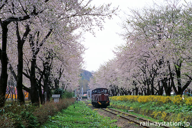 小坂精錬・小坂駅近く沿線の桜並木