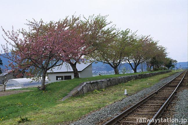 JR花輪線・八幡平駅、廃プラットホームの桜並木