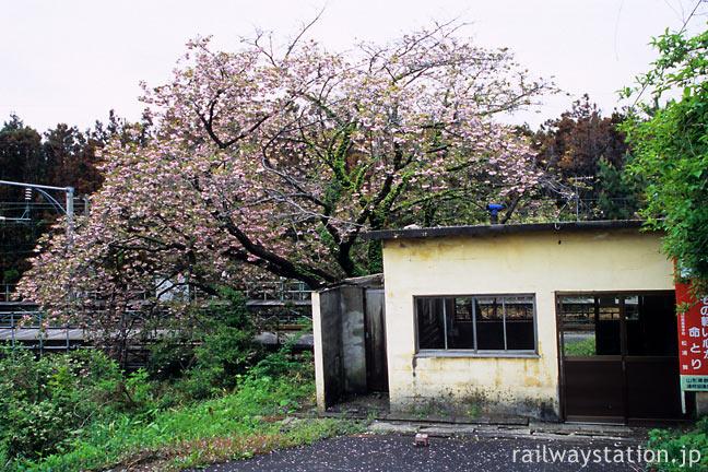 羽越本線の秘境駅・女鹿駅、満開の八重桜と粗末な駅舎