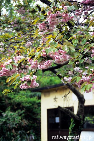 JR羽越本線の秘境駅、女鹿駅に咲く桜