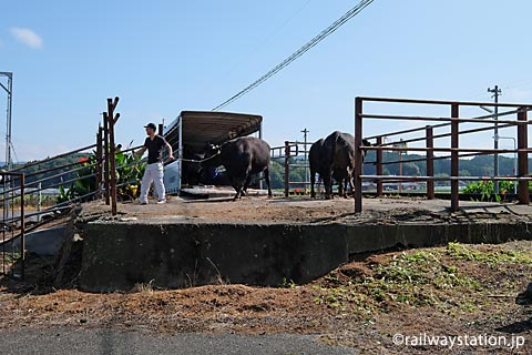 JR筑肥線・肥前長野駅、側線ホーム跡に放たれた牛