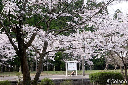 熊本県人吉市にあるJR肥薩線・大畑駅、桜の木々が満開
