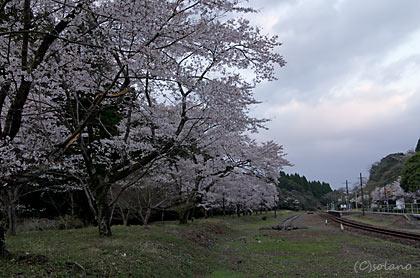 肥薩線・大畑駅の桜「矢岳越え」の列車が身を休めた広い構内跡
