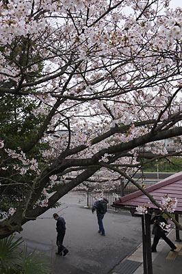 JR東海・武豊線・亀崎駅の桜と乗降客