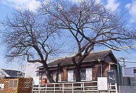 飯田線・小坂井駅、取壊しで小さくなった駅舎に寄り添う2本の桜の木。