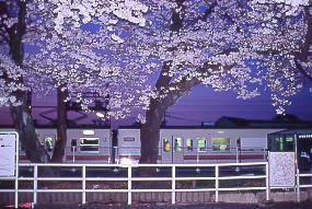 JR東海・飯田線・小坂井駅、旧駅舎跡地で満開の桜