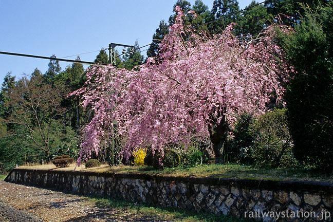 JR東海・飯田線・長篠城駅、廃ホームに咲く枝垂桜