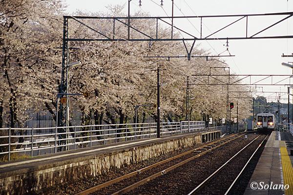愛知県新城市、桜満開の飯田線・野田城駅に入線する列車