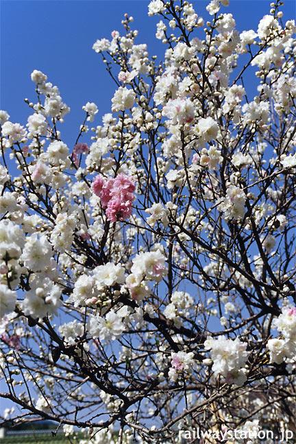 JR飯田線・大海駅構内に咲く牡丹桜