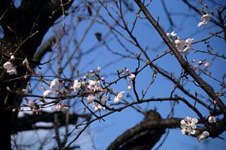 JR東海・太多線・下切駅、僅かに咲く桜
