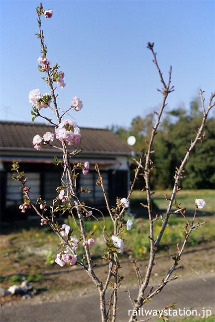 JR飯田線・東上駅、花咲く八重桜の若木