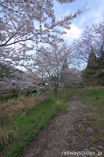 JR山口線・青原駅、側線ホーム跡の桜