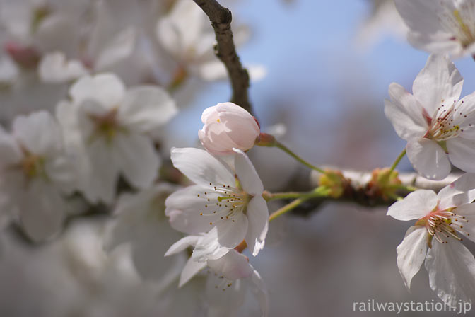 JR西日本・山口線・青原駅、咲く遅れた桜の花一輪