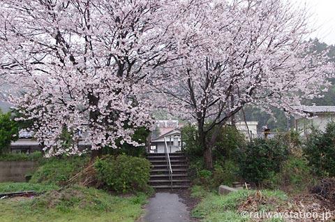 JR西日本・三江線・因原駅、廃止ホームの桜の木