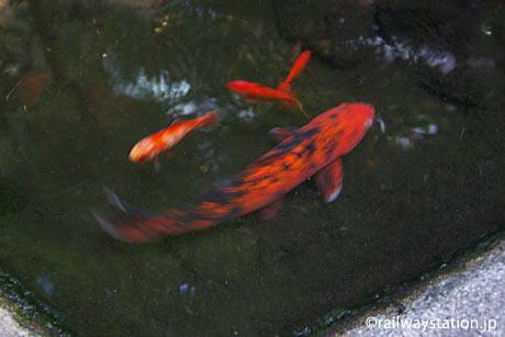 JR奈良線・稲荷駅、駅構内の池で泳ぐ鯉