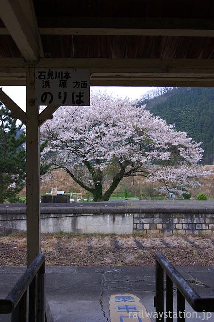 JR西日本・三江線・川戸駅廃ホームの満開の桜
