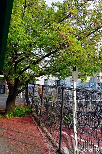 JR奈良線・桃山駅ホームの桜の木、散り果て葉桜となった…