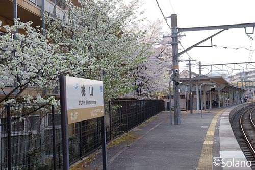 JR奈良線・桃山駅、駅名標と1番ホーム沿いの桜並木