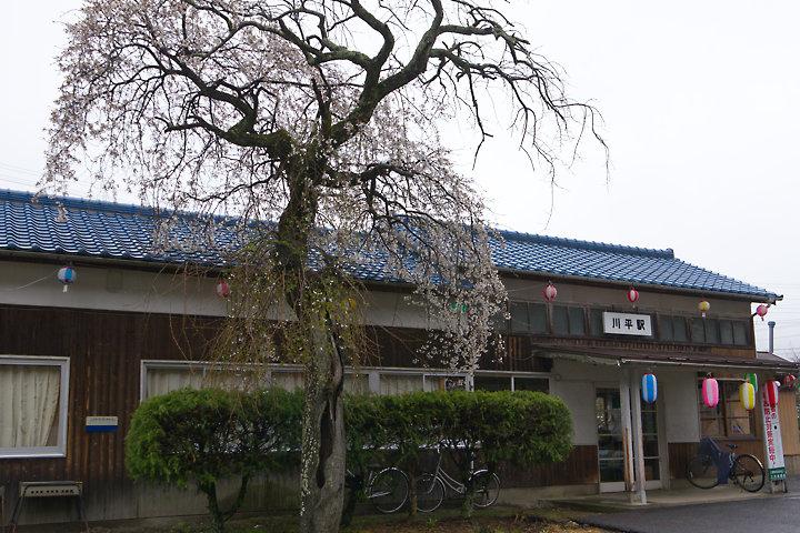 三江線・川平駅、山本家枝垂桜の枝を植樹した桜の老木