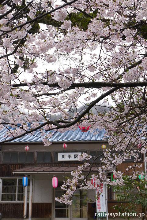 三江線・川平駅、昭和5年の駅開業時に植えられた桜
