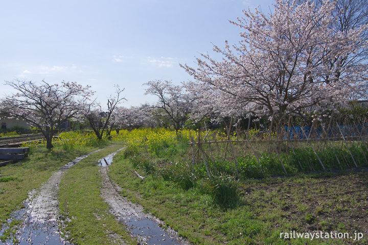 小湊鉄道・上総鶴舞駅、桜咲く里山のような駅裏手の用地跡