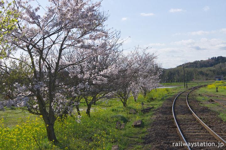 小湊鉄道・上総鶴舞駅、線路沿いに植樹された桜