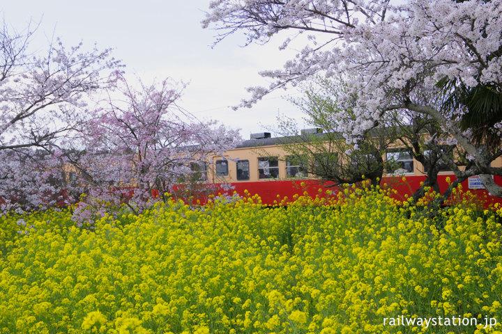 小湊鉄道・上総鶴舞駅、咲き乱れる桜と菜の花