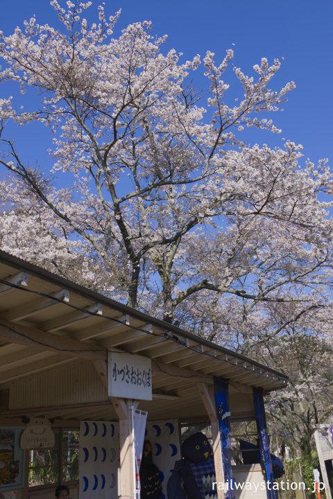 小湊鉄道・上総大久保駅、木造の待合所と満開の桜