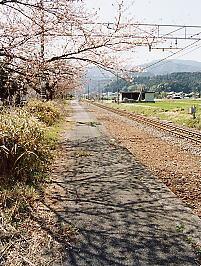 国鉄東海道本線・新垂井駅跡のプラットホームの桜