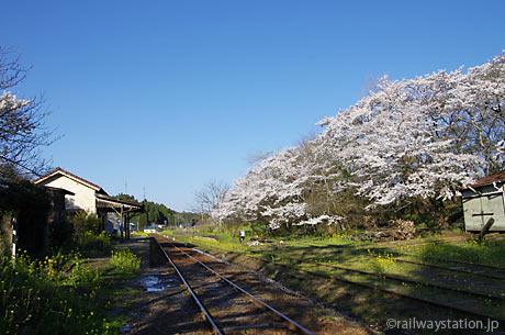 春の小湊鉄道、桜が爛漫の月崎駅構内