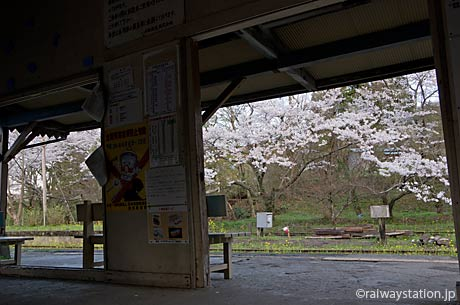 小湊鉄道・月崎駅、駅舎から見た駅構内の桜