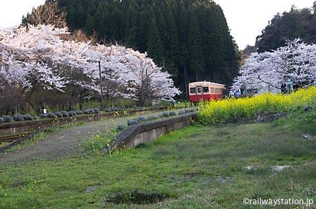 小湊鉄道、桜と菜の花が咲き誇る月崎駅