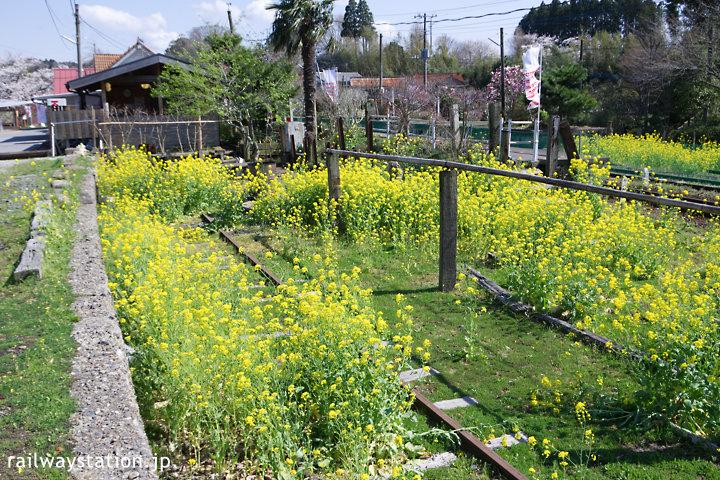 小湊鐡道、春の養老渓谷駅、側線跡は菜の花畑に