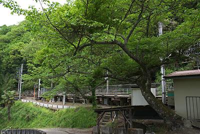 南海電鉄・高野線・紀伊細川駅、駅前の桜の木