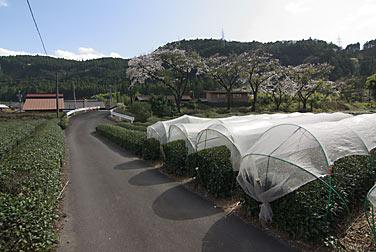 静岡県榛原郡川根本町、大井川鉄道・青部駅近くの茶畑