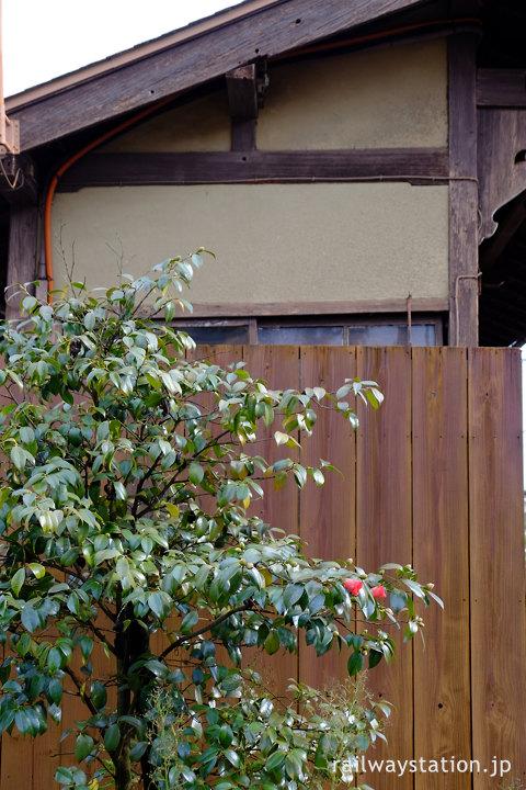 京福・御室仁和寺駅、駅舎横の椿の木