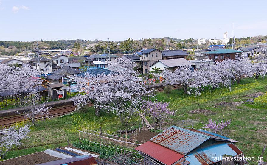 小湊鉄道、満開の桜に包まれる高滝駅