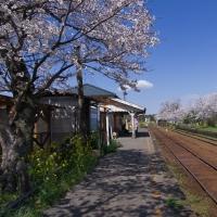 小湊鉄道・高滝駅、プラットホームの桜並木